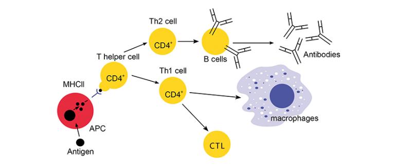 圖示癌症T細胞免疫療法原理