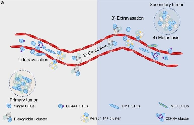 循環腫瘤細胞轉移基本原理